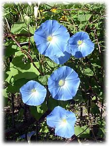 blaue mauritius pflanze blaue mauritius pflanze blaue mauritius pflanze blaue mauritius foto. Black Bedroom Furniture Sets. Home Design Ideas